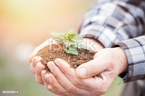 621615390istockphoto Senior man hands holding new growth plant 900636814