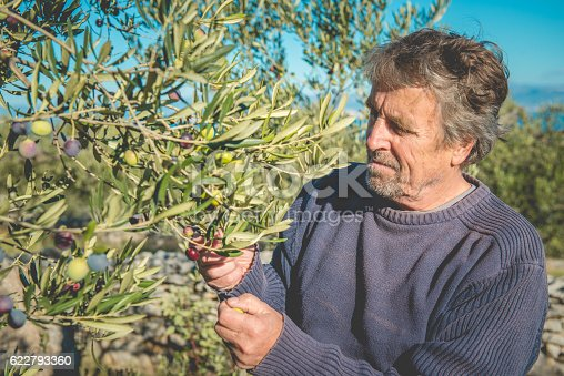 istock Senior Man Harvesting Olives in Brac, Croatia, Europe 622793360