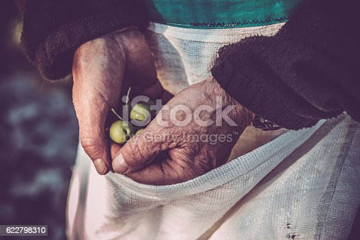 istock Senior Man Harvesting Olives in Brac, Croatia, Europe 622798310