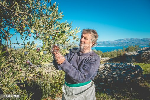 istock Senior Man Harvesting Olives in Brac, Dalmatia, Croatia, Europe 626069568