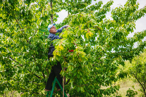 Senior man in cherry harvest