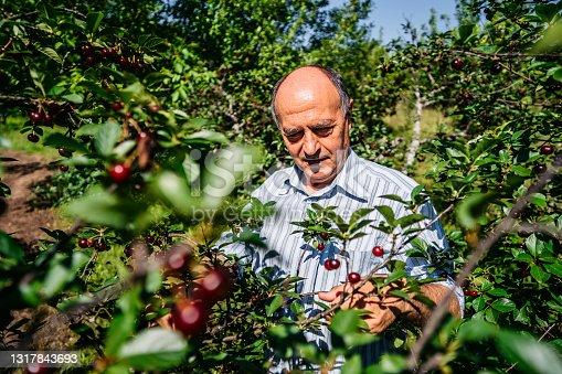 istock Senior man in cherry orchard 1317843693