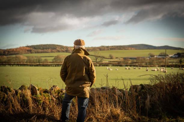 Senior man looking at field with sheep stock photo
