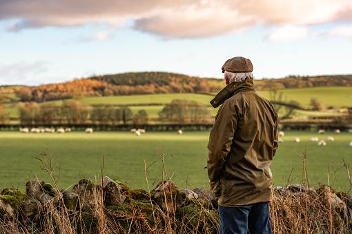 Senior man looking at field with sheep