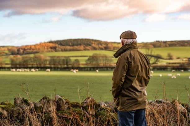 último homem olhando para o campo com as ovelhas - reino unido - fotografias e filmes do acervo