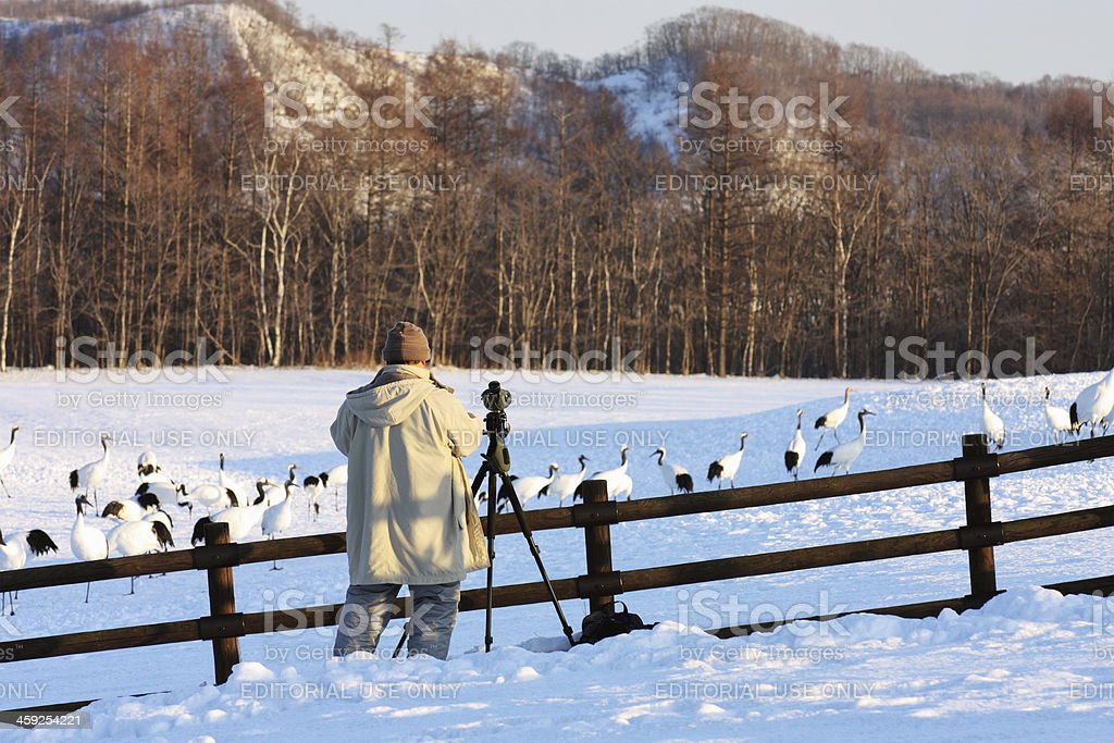 Senior man observes a flock of red-crowned cranes royalty-free stock photo