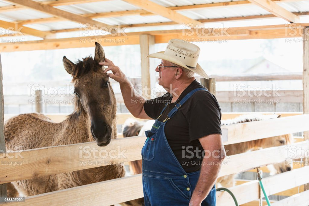 Senior man on farm or ranch taking care of horses stock photo