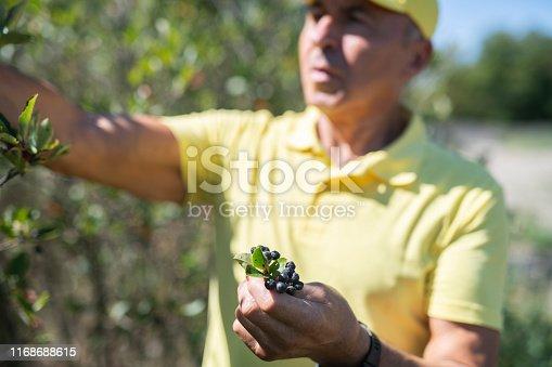 Senior man picking chokeberry fruit.