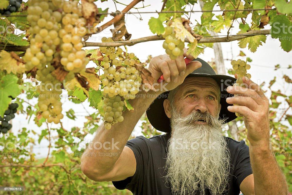 Senior Man Picking Grapes, Harvesting in Europe stock photo