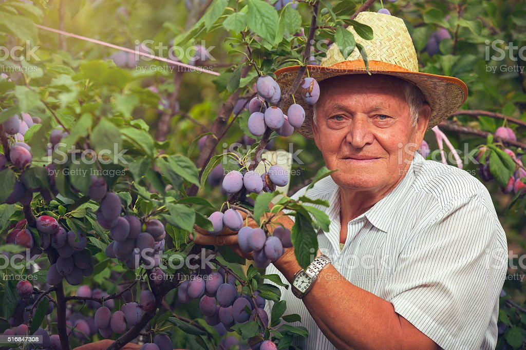 Senior man picking plums in an orchard stock photo