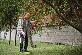 Senior man picks cherries from tree