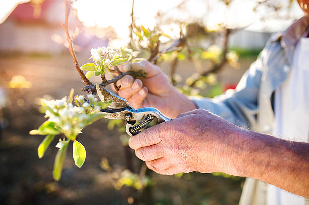 senior man pruning apple tree - skära aktivitet bildbanksfoton och bilder