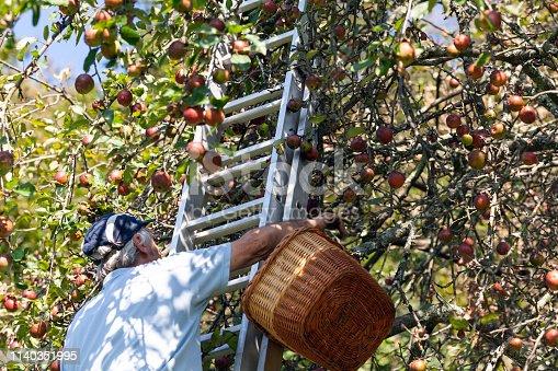 Senior Man Reaching For Apples When Harvesting  Apple Tree.