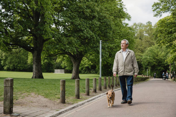 Senior Man Walking Dog in Park Senior man is walking his terrier dog along a path in a public park, enjoying the scenic views of nature. walking stock pictures, royalty-free photos & images