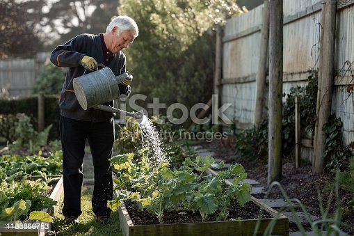 Senior man watering plants using a watering can while working alone in his vegetable garden on a sunny day