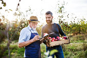 A senior man with adult son picking apples in orchard in autumn.
