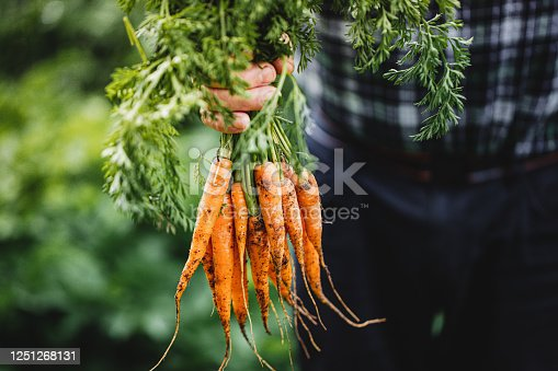 Close-up of hand of a senior man holding freshly harvested carrots. Elderly person's hands holding bunch of carrots in the farm.