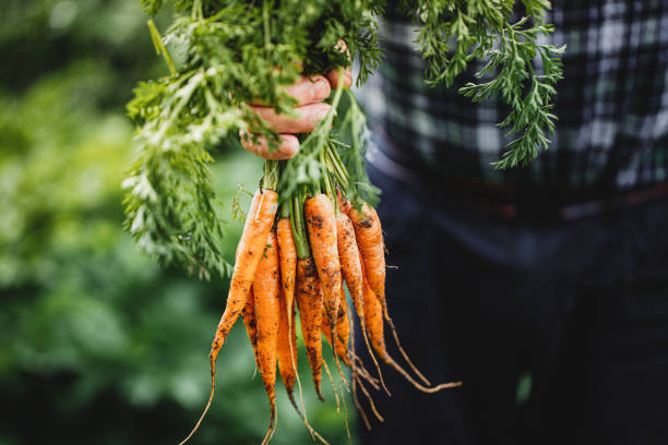 Senior man with bunch of freshly harvested carrots Close-up of hand of a senior man holding freshly harvested carrots. Elderly person's hands holding bunch of carrots in the farm. carrot stock pictures, royalty-free photos & images