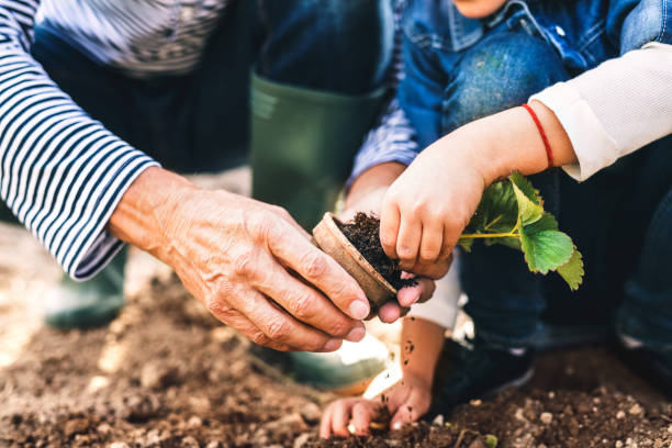 Senior man with grandaughter gardening in the backyard garden. Unrecognizable senior man with his grandaughter planting a seedling on allotment. Man and a small girl gardening. gardening stock pictures, royalty-free photos & images