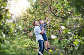 A senior man with small grandson picking apples in orchard in autumn.