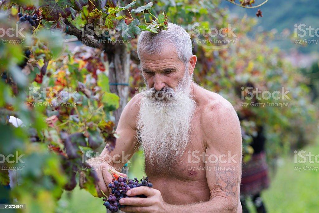 Homem sênior de barba longa colheita de uvas, a colheita na Europa - foto de acervo