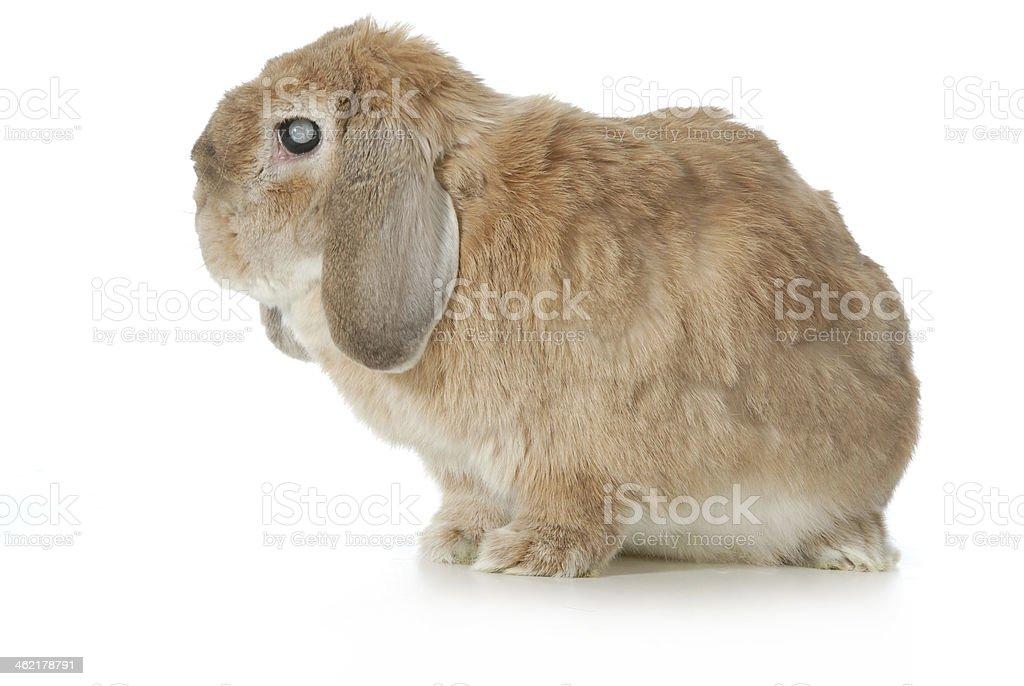 senior rabbit stock photo