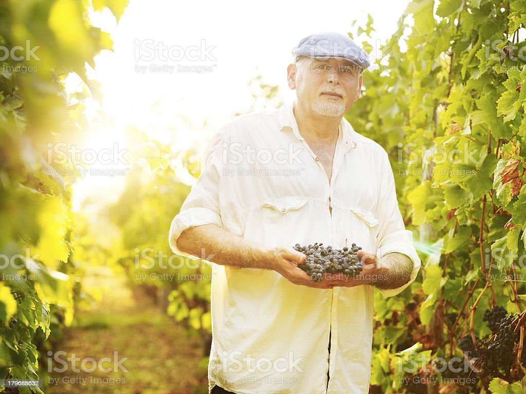 senior vinemaker royalty-free stock photo