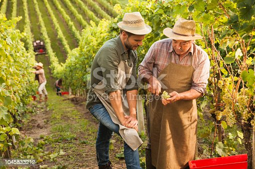 Old man in vineyard showing good grapes to his son while harvesting. The winemaking knowhow should pass from generation to generation.