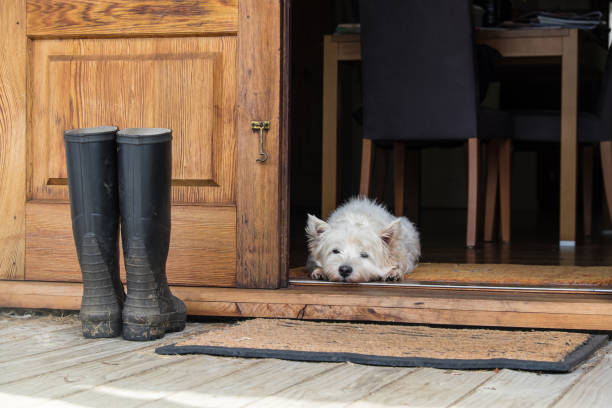Senior west highland white terrier westie dog lying on mat looking out of open farmhouse door stock photo