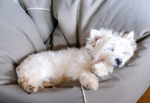 Senior west highland white terrier westie dog sleeping in a bean bag stock photo