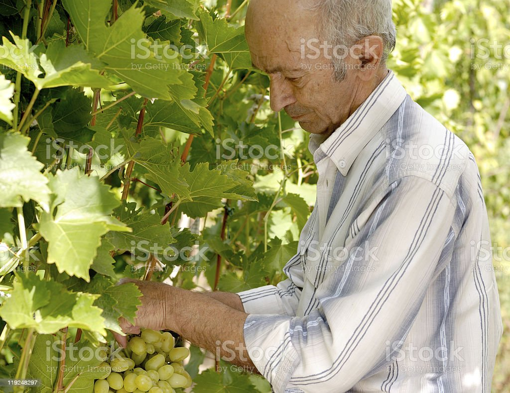 Senior winemaker royalty-free stock photo