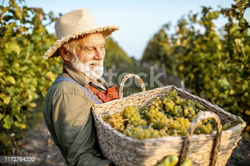 istock Senior winemaker with grapes on the vineyard 1172764220