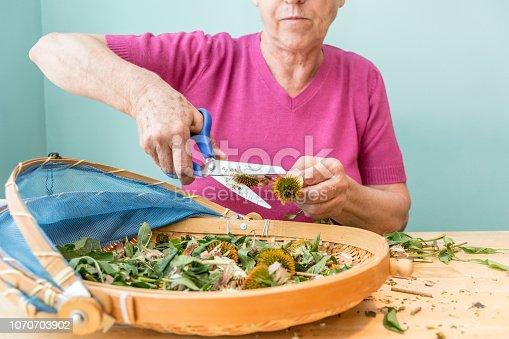 Senior Woman Preparing Tincture from Flower Heads of  Narrow-Leaved Purple Coneflower
