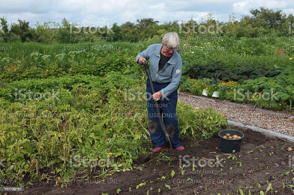 Senior woman digging for potatoes in large organic garden royalty-free stock photo