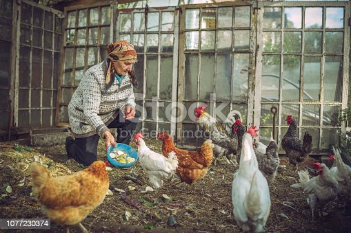 Senior farmer with her hens on farm in summer