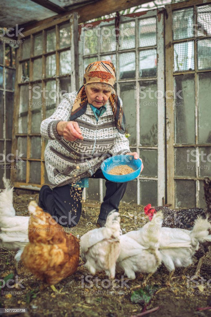 Senior woman feeding chicken on a farm stock photo
