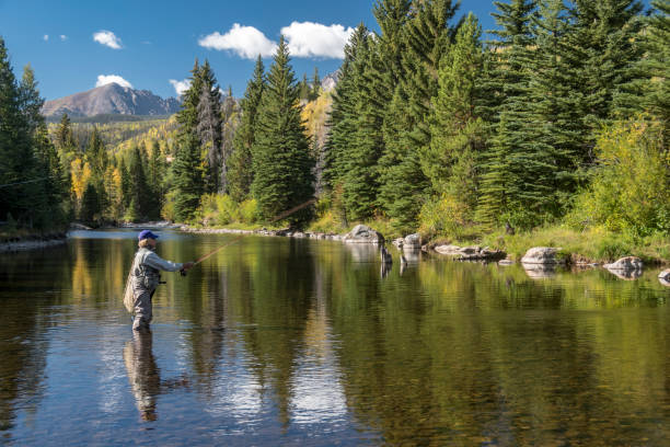 Senior Woman Fly-Fishing in the Blue River in the Colorado Rocky Mountains A senior woman fly-fishing in the Blue Rive located in Silverthorne, Summit County, Colorado.  Fall colors are just starting to show.  She is alone in the tranquil environment. fly fishing stock pictures, royalty-free photos & images