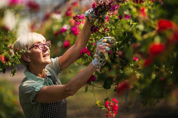 senior frau gärtner - gartenarbeit stock-fotos und bilder