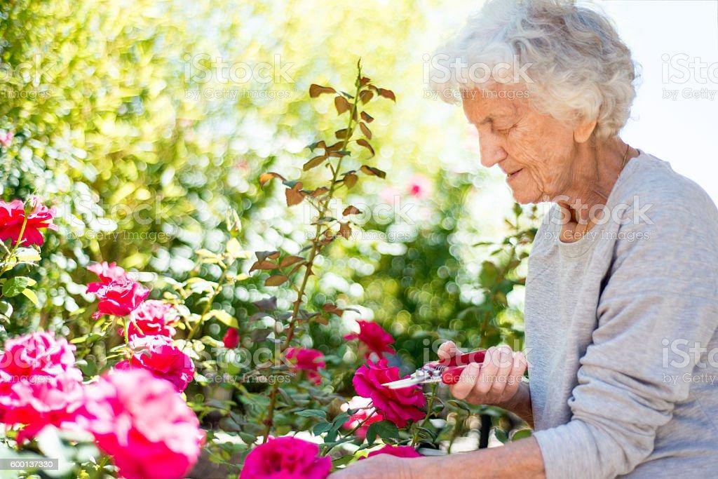 Senior Woman Gardening, Cutting Roses stock photo