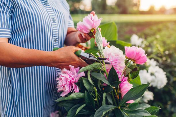 Senior woman gathering flowers in garden. Elderly retired woman cutting peonies with pruner stock photo