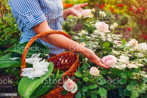 Senior woman gathering flowers in garden middleaged woman holding picture id1159492330?b=1&k=6&m=1159492330&s=612x612&h=2q2emdhiaxjb1zyui07gssjtbcbmwv gomjdgshscky=