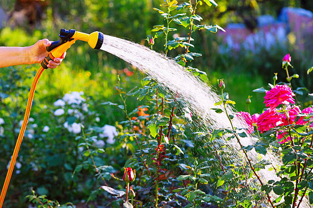 senior woman hand watering rose flowerbed - garden hose stock pictures, royalty-free photos & images