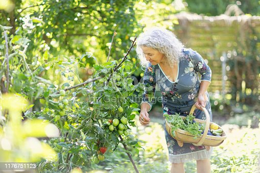 Senior woman, 57 years old, with beautiful long, grey, curly hair, wearing a blue dress with floral pattern, standing outdoors in garden at late summer. She is holding a basket with vegetables harvestet from her garden, she is picking tomatoes