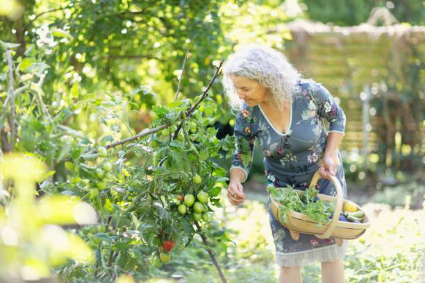 Senior woman harvesting vegetable in her garden stock photo