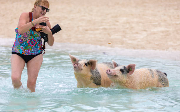 senior woman having fun with two swimming pigs of exuma. - exuma foto e immagini stock