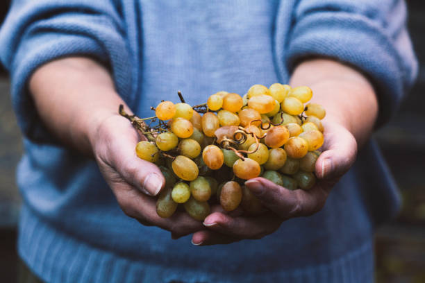 Senior woman holding a cluster of grapes stock photo