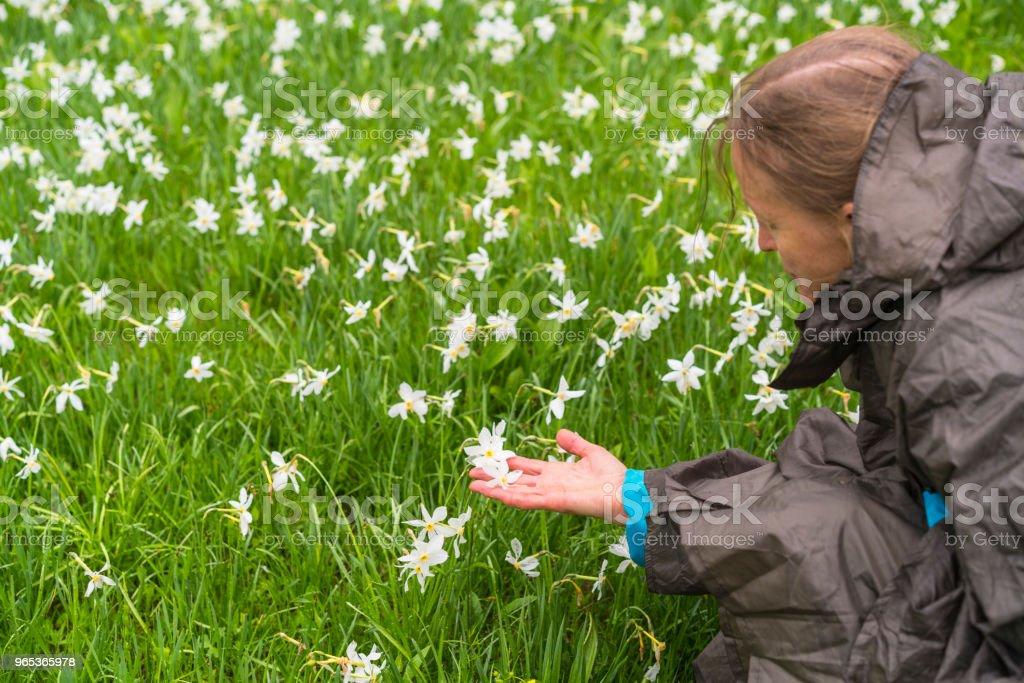 Senior woman holding Daffodil narcissus at flowerbed flower on rainy day at Spanov vrh, Slovenia zbiór zdjęć royalty-free