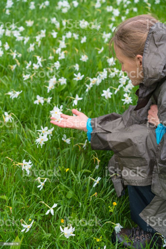 Senior woman holding Daffodil narcissus at flowerbed flower on rainy day at Spanov vrh, Slovenia zbiór zdjęć royalty-free