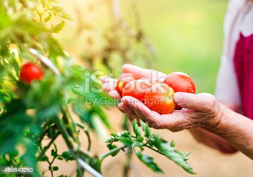 Unrecognizable senior woman in her garden harvesting tomatoes
