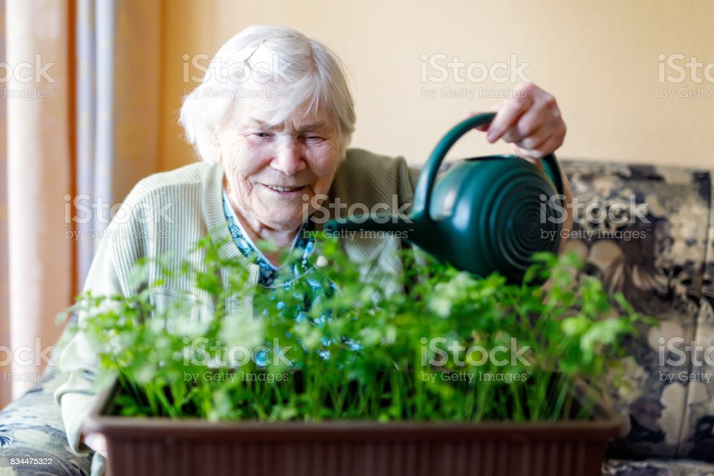 Senior woman of 90 years watering parsley plants with water can at home stock photo